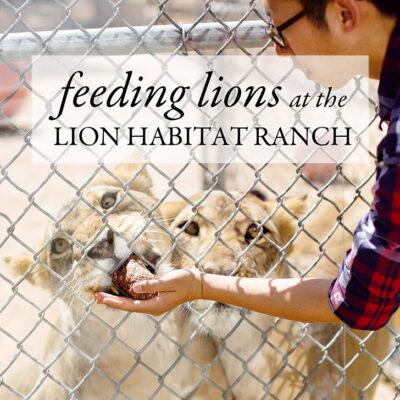 Feeding Lions at the Lion Habitat Ranch Las Vegas.