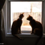 Our Orange Tabby Cats