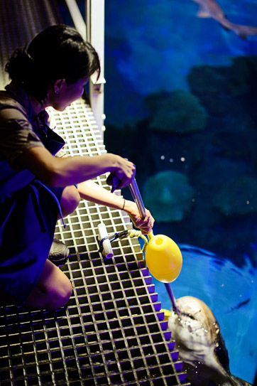 Feeding Sharks at the Shark Reef at Mandalay Bay Las Vegas NV.