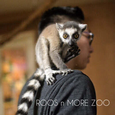 Ring Tailed Lemurs of Madagascar at Roos n More Zoo in Las Vegas NV.