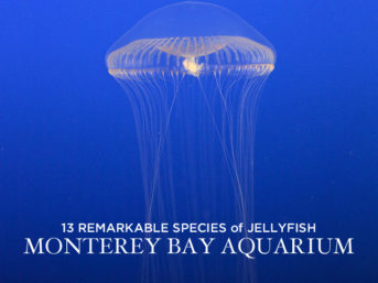 13 Remarkable Species of Jellyfish at the Monterey Aquarium California.