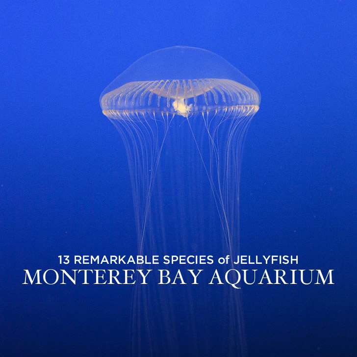 13 Remarkable Species of Jellyfish at the Monterey Aquarium