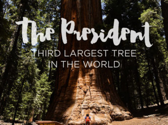 The President Tree - Sequoia National Park California.