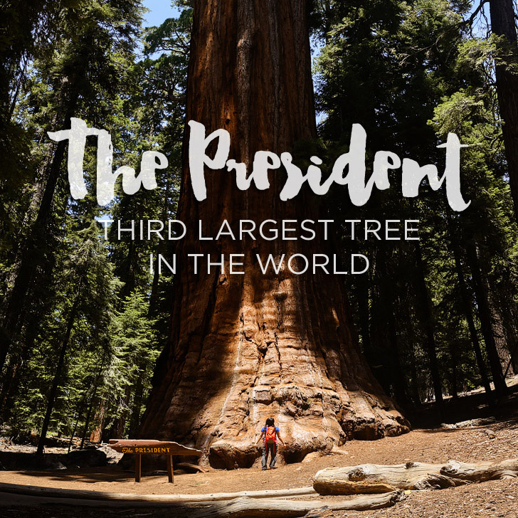 The President Tree – Third Largest Tree in the World