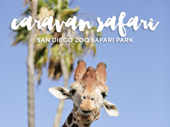 Caravan Safari at the San Diego Zoo Safari Park.
