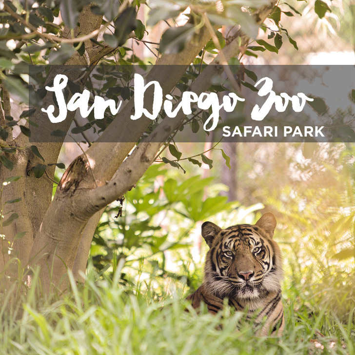 San Diego Wild Animal Park – Run Cheetah Run!