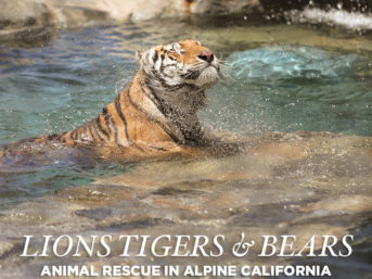 Lions Tigers and Bears Alpine Ca Animal Rescue.