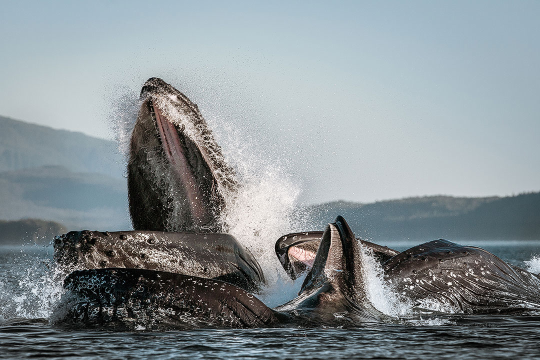 Alaska Juneau Whale Watching Season + 15 Best Places to Whale Watch in the US
