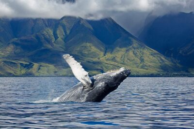 Maui Whale Watching Season + The Ultimate Guide to When and Where to Whale Watch in the US