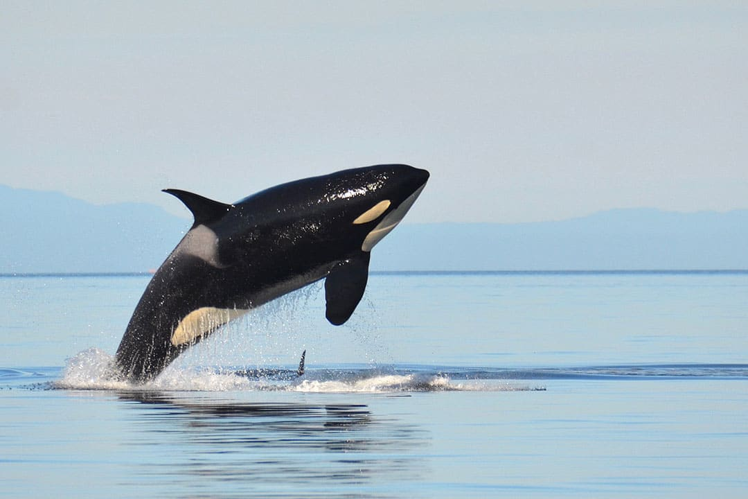 San Juan Islands Whale Watching Season + Your Ultimate Guide of When and Where to Go Whale Watching in the US