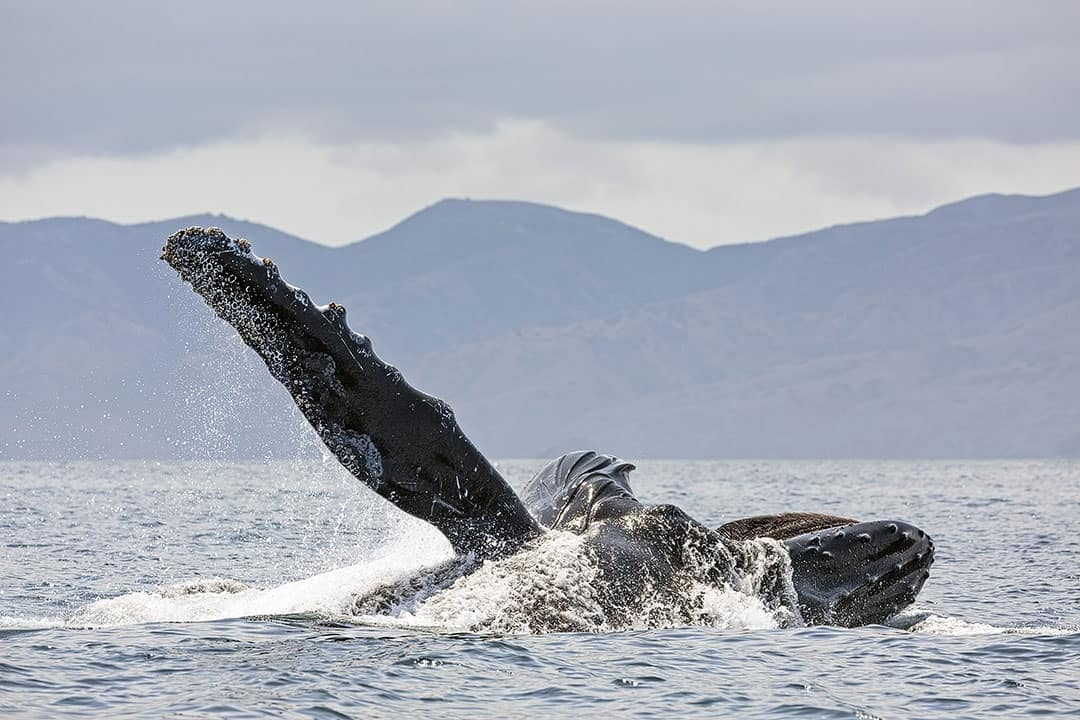 Santa Barbara Whale Watching Season + 15 Best Places to Whale Watch in the US + When to Go!