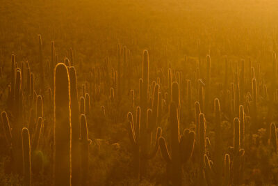 Saguaro Cactus in Sunset + 11 Beautiful Things to Do in Saguaro National Park Arizona