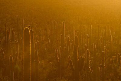 Saguaro Cactus in Sunset + 11 Beautiful Things to Do in Saguaro National Park Arizona