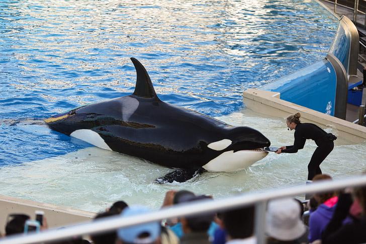 SeaWorld Killer Whale Show.