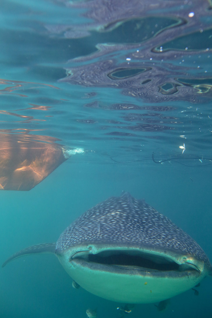 Most Epic Snorkeling Trip - Swimming with Whale Sharks at Derawan Island Indonesia.
