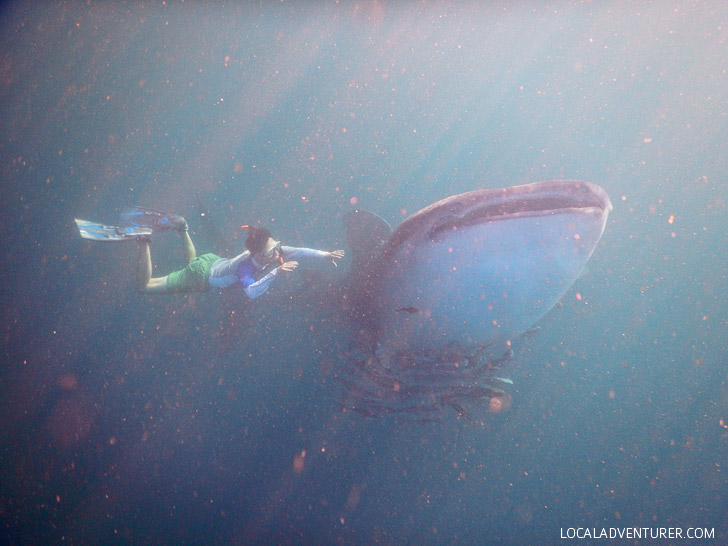 Swimming with Whale Sharks at Derawan Island Indonesia.