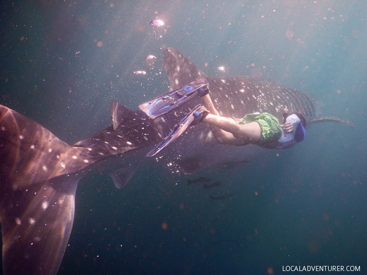 Swim with Whale Sharks Derawan Indonesia.
