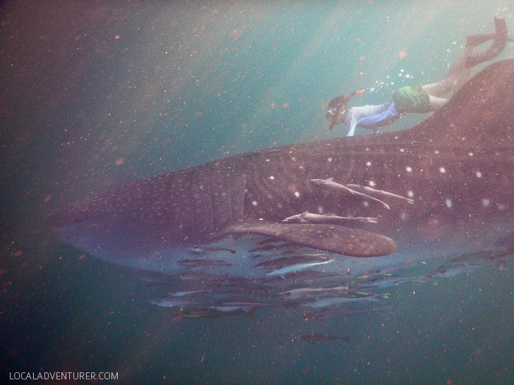 Swimming with Whale Sharks in Derawan Islands.