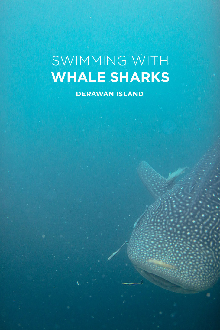 Our Most Epic Snorkeling Trip - Swimming with Whale Sharks at Derawan Island.