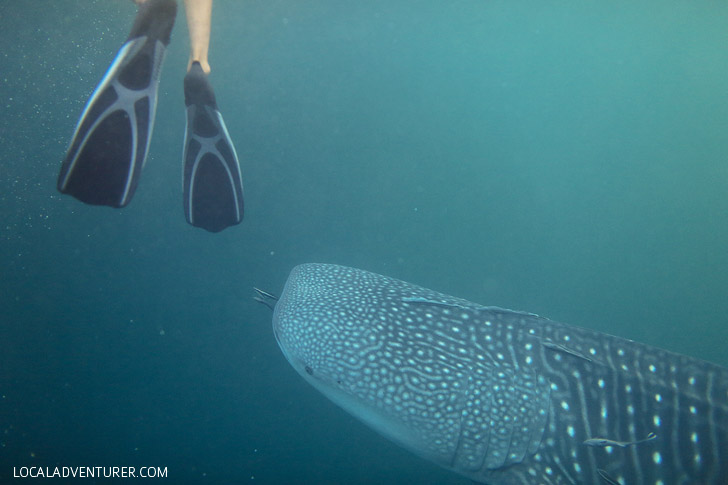 Snorkel with Whale Sharks Derawan Indonesia.