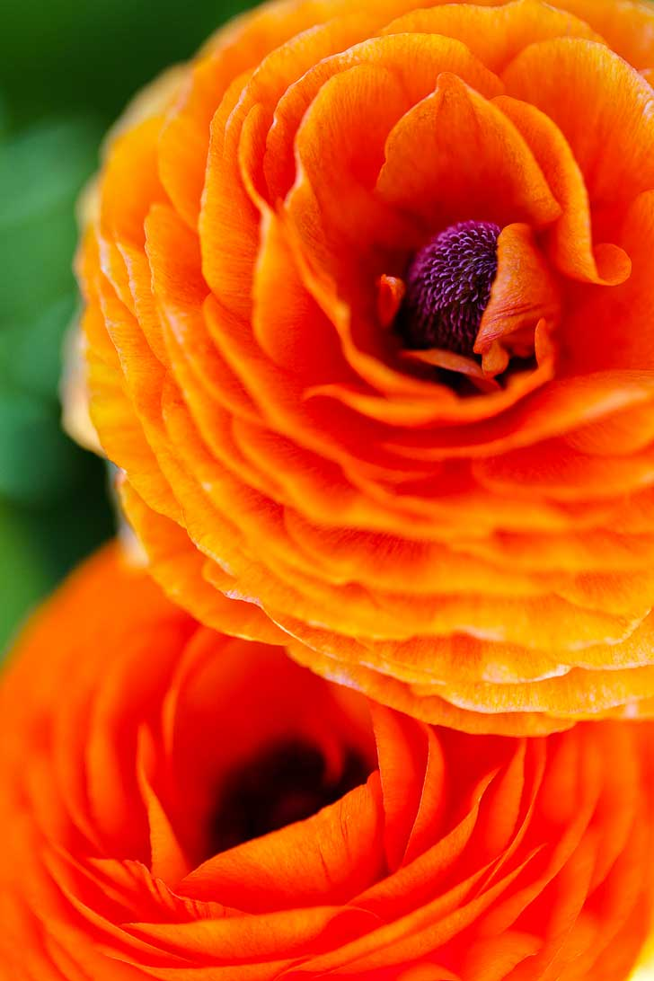 It's Ranunculus Season at the Carlsbad Flower Fields. See them before they're gone! // localadventurer.com