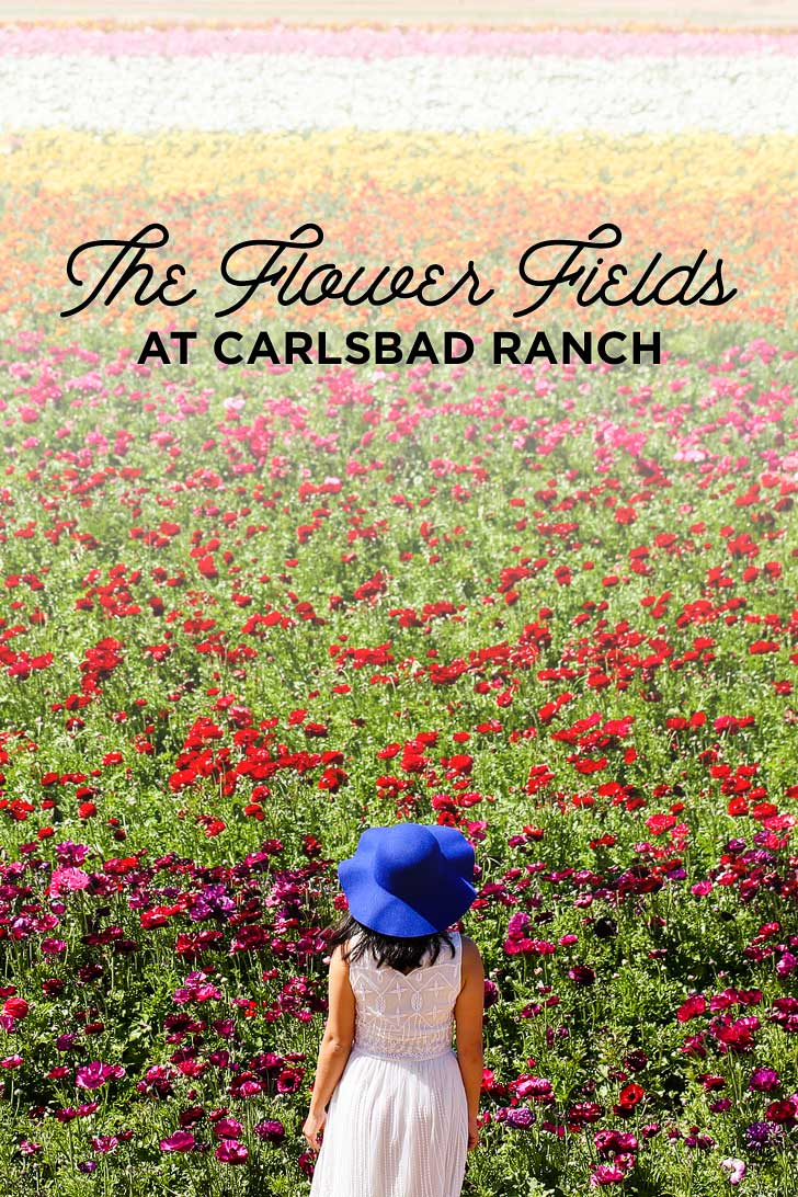 It's Ranunculus Season at the Carlsbad Flower Fields! // localadventurer.com