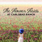 It's Ranunculus Season at the Flower Fields Carlsbad Ranch!
