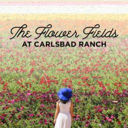 It's Ranunculus Season at the Flower Fields Carlsbad Ranch!