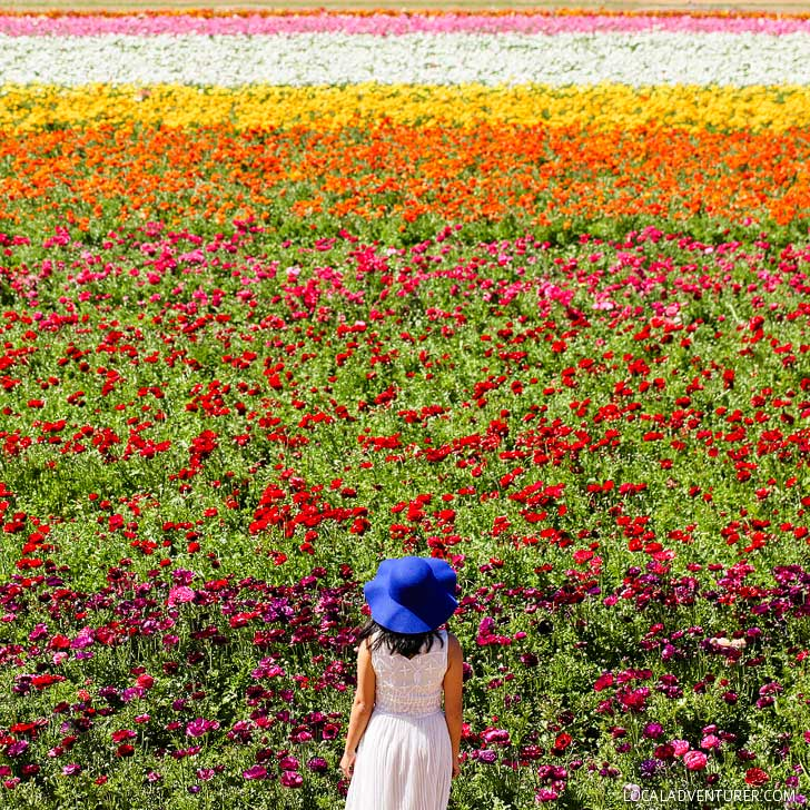 Carlsbad Flower Fields (11 Beautiful Southern California Flower Fields You Must Visit this Spring) // localadventurer.com