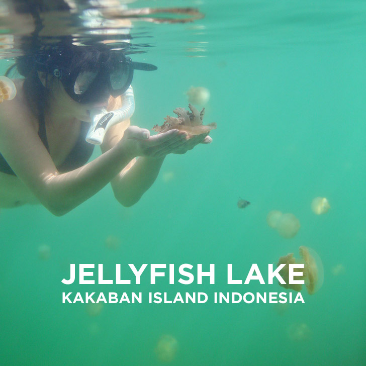 Swimming with Stingless Jellyfish at Jellyfish Lake Kakaban Island Indonesia // localadventurer.com