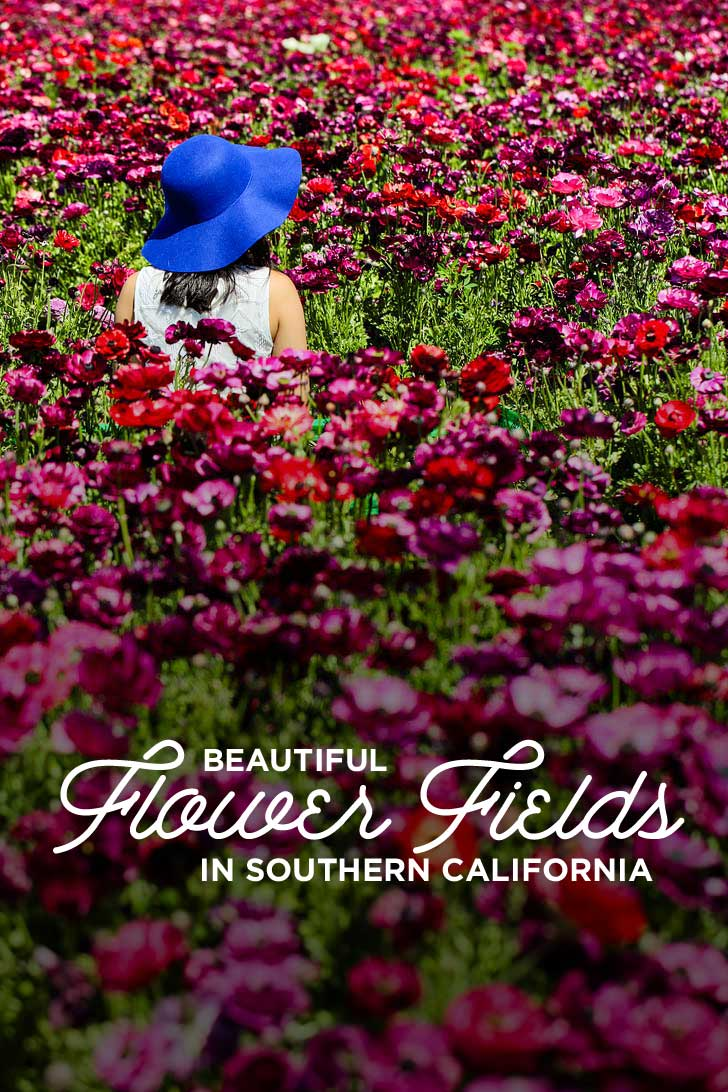 Beautiful california flower fields you must visit this spring 11 beautiful southern california flower fields you must visit this spring localadventurer mightylinksfo