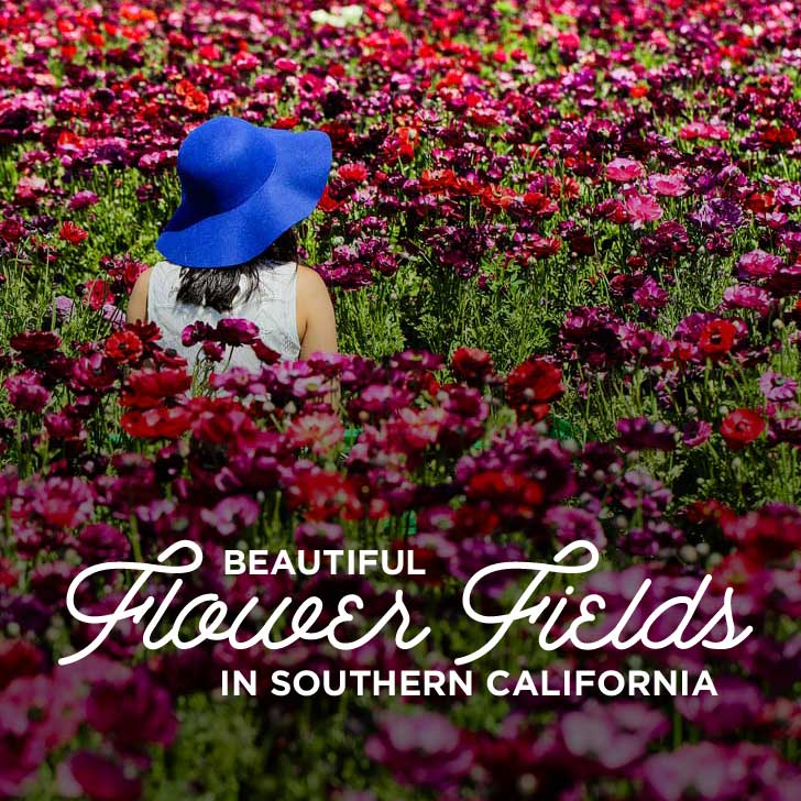 11 Beautiful Flower Fields You Must See in Southern California // localadventurer.com