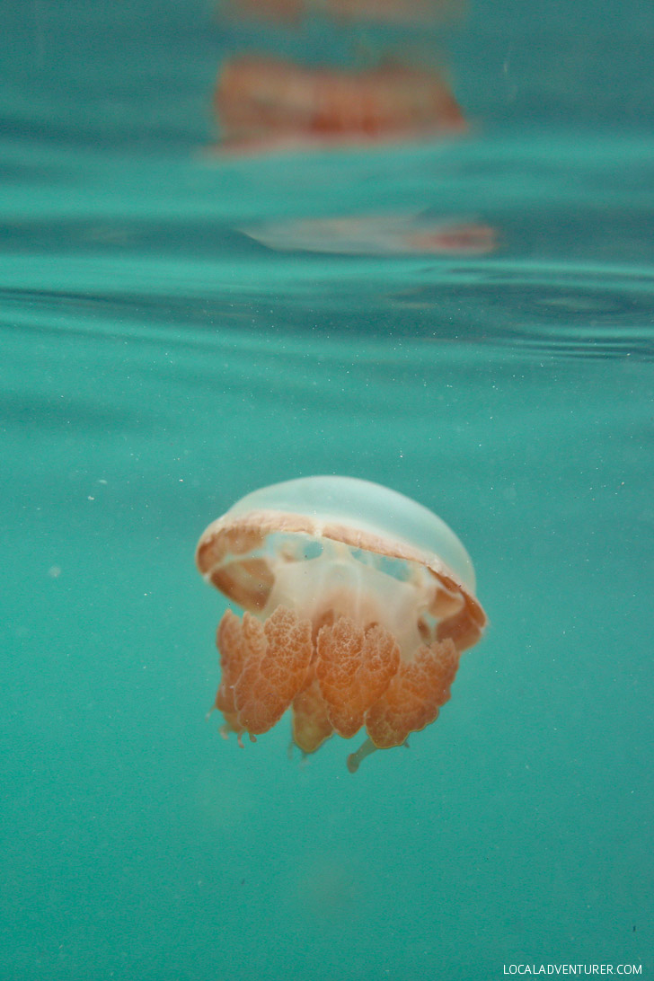 Lagoon Jellyfish That Don't Sting - There are two places in the world where you can swim with stingless jellyfish - Kakaban + Palau // localadventurer.com
