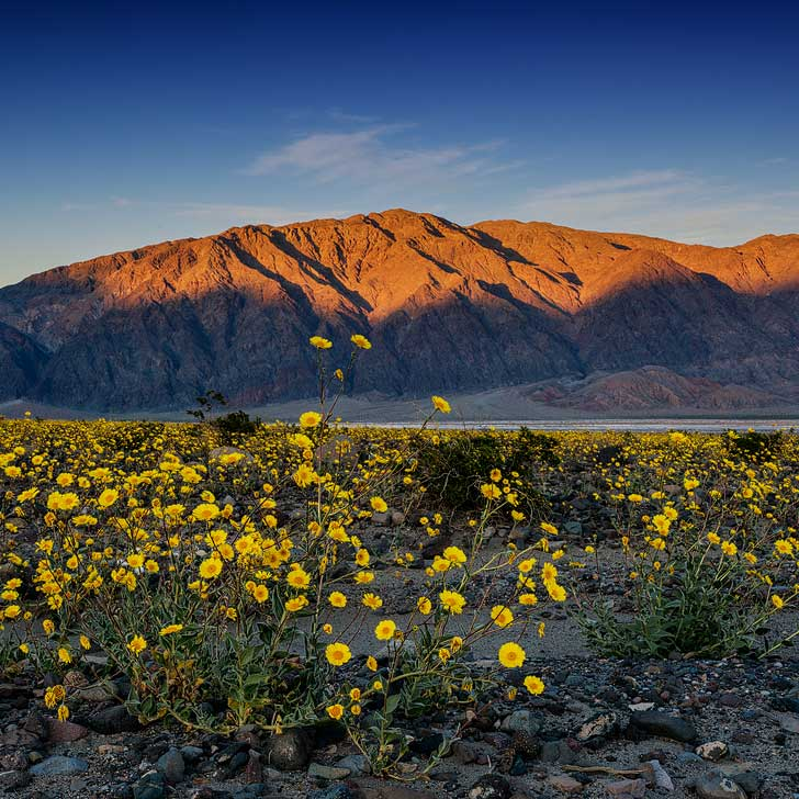 Superbloom at Death Valley National Park (Your Guide on the Best Places to Find California Wildflowers in Socal) // localadventurer.com