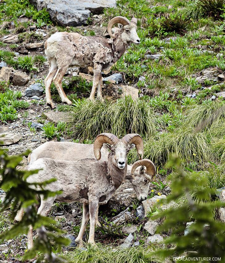 Seeing Bighorn Sheep at Glacier National Park (+ 9 Best Things to Do in Glacier National Park Montana) // localadventurer.com
