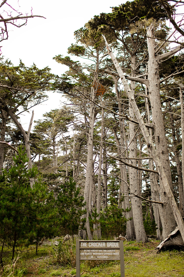 The Crocker Grove (+ Complete Guide to the Scenic 17 Mile Drive in Monterey California) // localadventurer.com