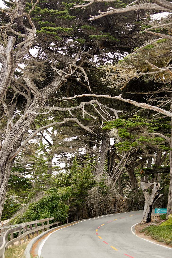 The Ghost Tree, Seventeen Mile Drive, Pebble Beach, Monterey California // localadventurer.com