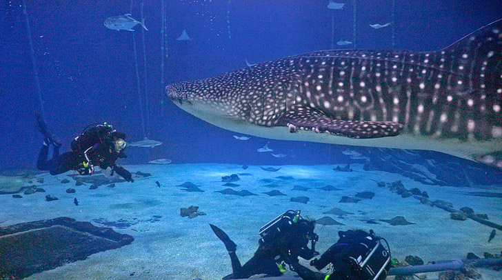 Diving in the Georgia Aquarium with Whale Sharks » Local ...