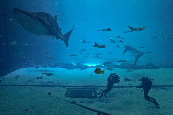 Georgia Aquarium Diving with Whale Sharks // localadventurer.com