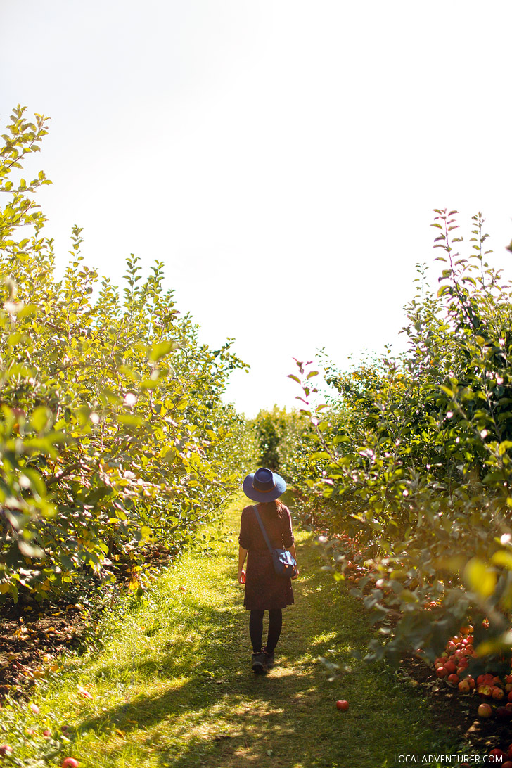 Apple Picking in the Fruit Loop Oregon // localadventurer.com