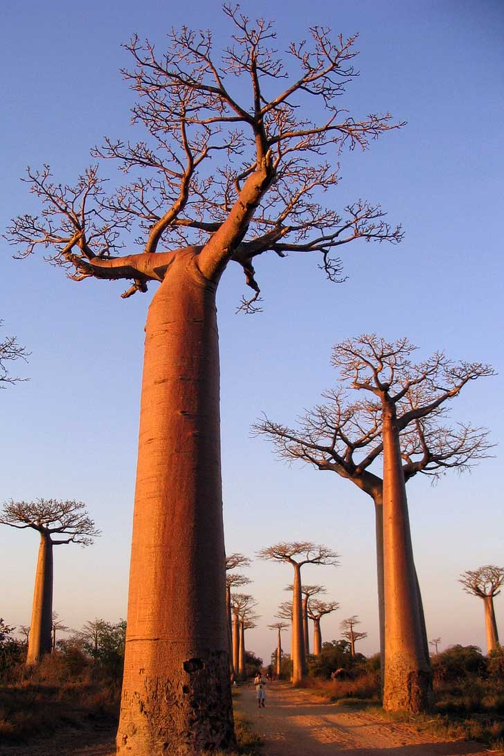 Avenue of the Baobabs, Madagascar (Our 2017 Travel Bucket List) // localdventurer.com
