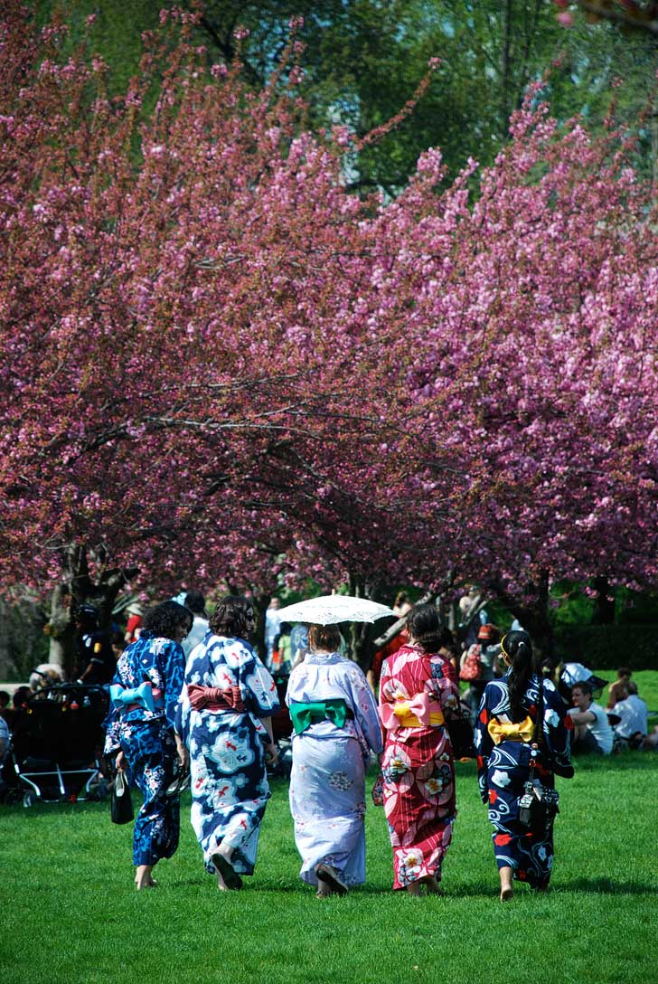 Sakura Matsuri Festival at the Brooklyn Botanic Garden is a lovely place to see cherry blossoms - they have two of the oldest living cultivars in the country // localadventurer.com