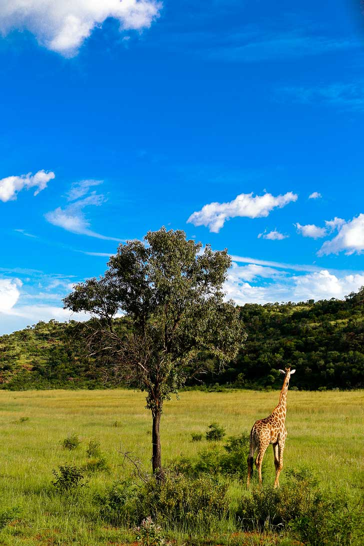 Pilanesberg Game Reserve Safari - an Amazing Day Trip from Johannesburg South Africa // localadventurer.com
