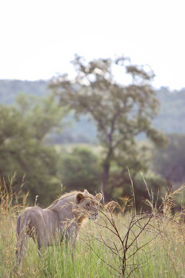Pilanesberg Game Drive Safari - an Amazing Day Trip from Johannesburg South Africa // localadventurer.com