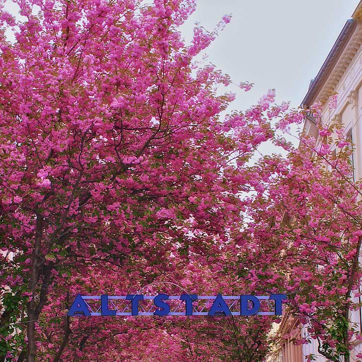 Bonn Germany - Altstadt Cherry Festival Bonn - In Altstadt you will find narrow streets where the cherry trees create a tunnel of pink when they are in bloom // localadventurer.com