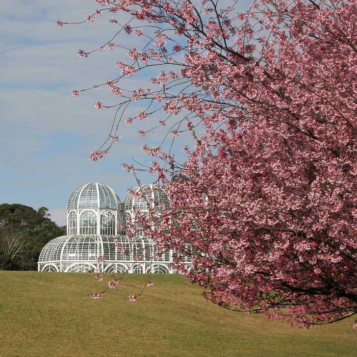 Curitiba Brazil - Where to See Cherry Blossoms (pc: Josie) - The best place to see pink cherry blossoms in the city are the Botanical Gardens (Jardim Botânico) // localadventurer.com