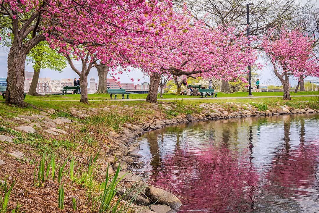 Cherry Blossom Boston Massachusetts - Charles River Esplanade has the highest concentration of cherry trees in the section bordering Back Bay
