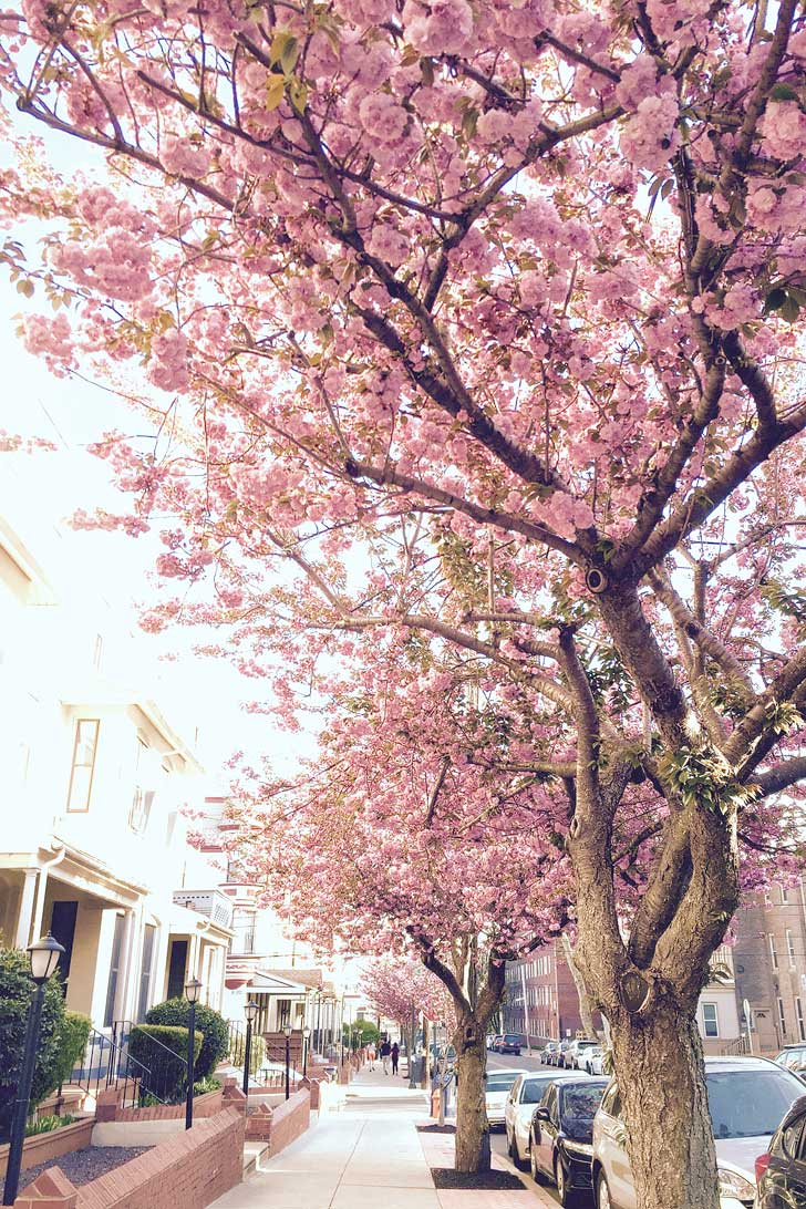 Where To See Cherry Blossoms In The Us Local Adventurer Travel