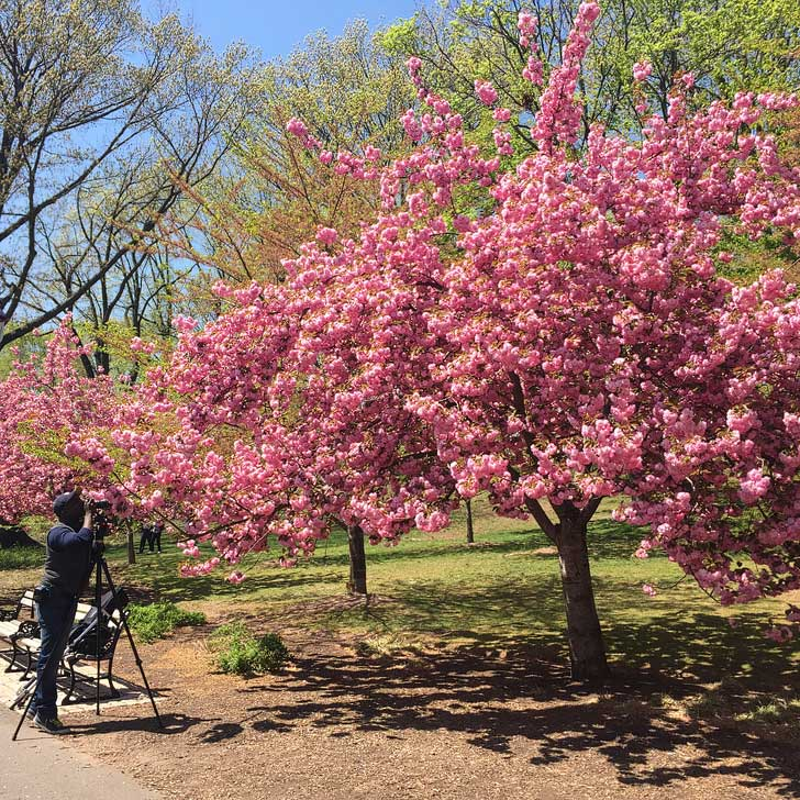 Essex County Cherry Blossom Festival - The Garden State has more cherry trees than D.C - more than 4,000 Japanese cherry trees in Branch Brook Park (pc: arcticpenguin) // localadventurer.com