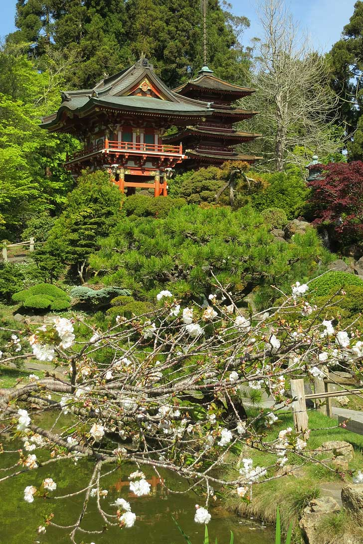 Cherry Blossoms San Francisco, CA - Find them at the Japanese Tea Garden and the meadows of Golden Gate Park - The cherry trees start blooming in mid-March (pc: Ruth Hartnup) // localadventurer.com